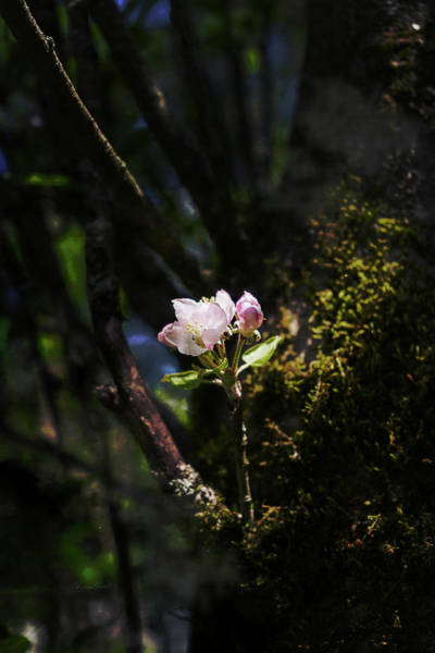 Photograph - Pink Apple Blossom by Sharon Popek