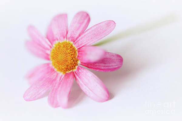 Photograph - Pink Aster Flower II by Nick Biemans