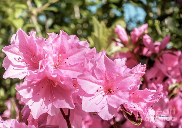 Photograph - Pink Azalea Bush Blooming In North Georgia 048a by Ricardos Creations
