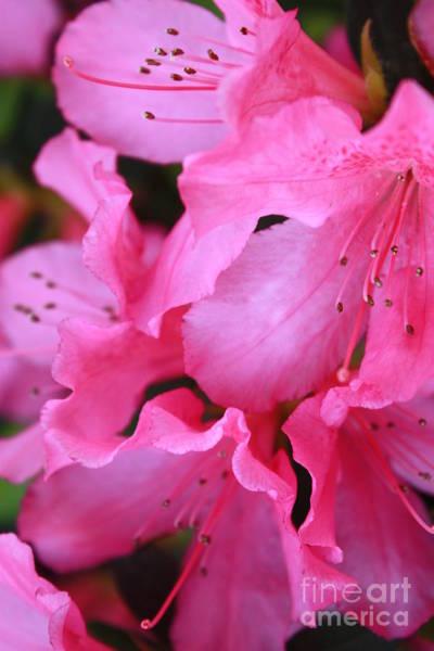 Macor Photograph - Pink Azalea Drama by Carol Groenen