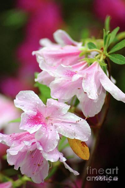 Photograph - Pink Azaleas by Donna Bentley