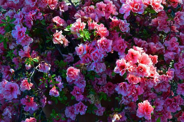 Photograph - Pink Azaleas by Frank Wilson