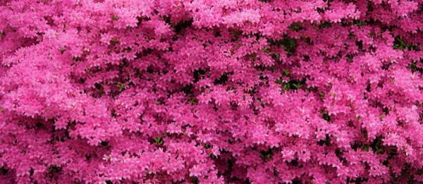 Photograph - Pink Azaleas Panorama by Jill Lang