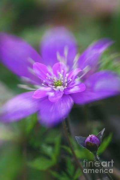 Anemone Photograph - Pink Beauty II by Veikko Suikkanen