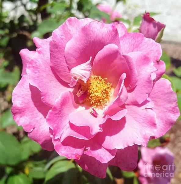 Photograph - Pink Beauty by Rachel Hannah