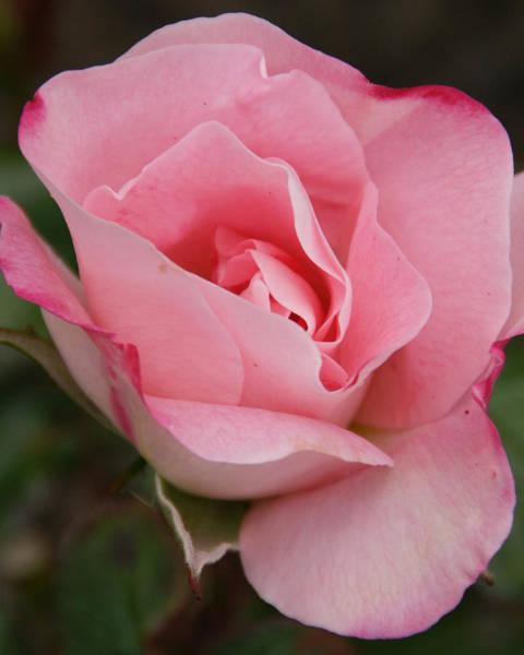 Wall Art - Photograph - Pink Beauty Up Close by Brandy Herren