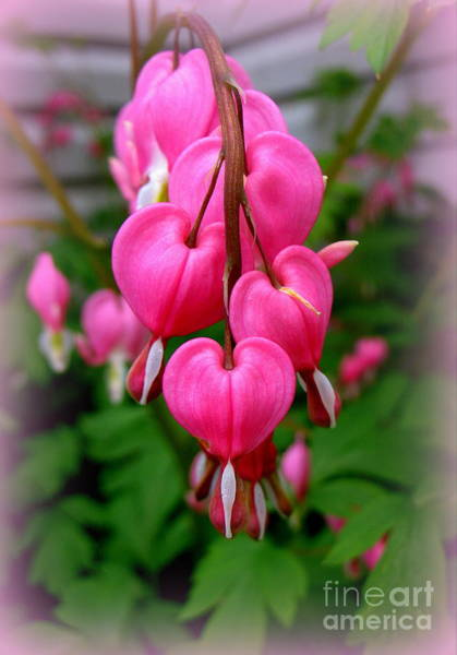 Photograph - Pink Bleeding Hearts by Patti Whitten