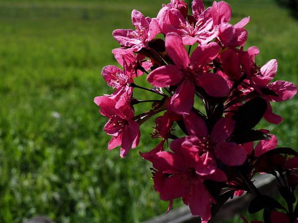 Pink Bloomers Green Field Art Print