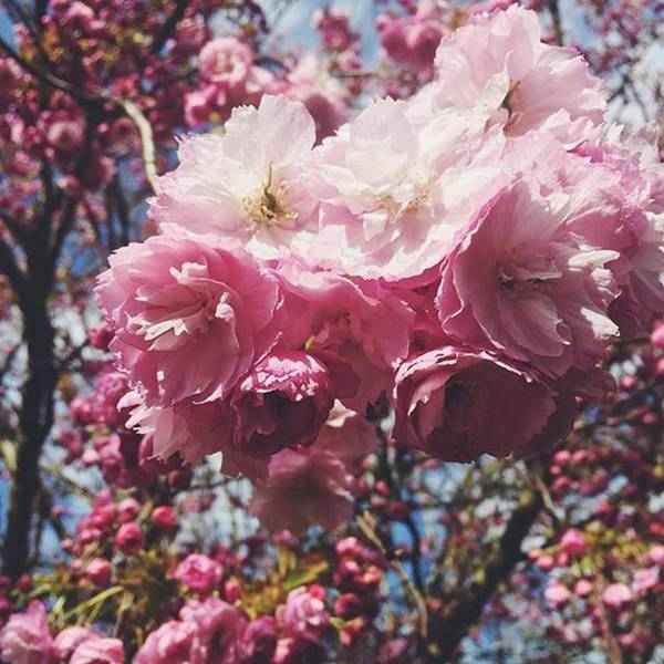 #pink #blossom #blossoms #blossomtree Art Print