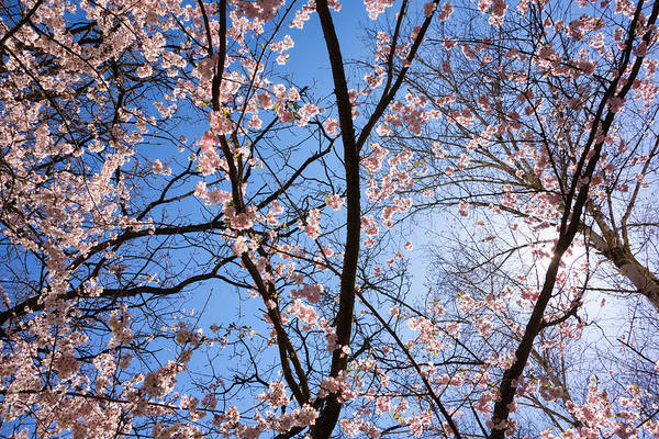 Photograph - Pink Blossoms And Blue Sky In Spring by Matthias Hauser