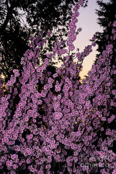 Wall Art - Photograph - Pink Blossoms At Sunset By Kaye Menner by Kaye Menner