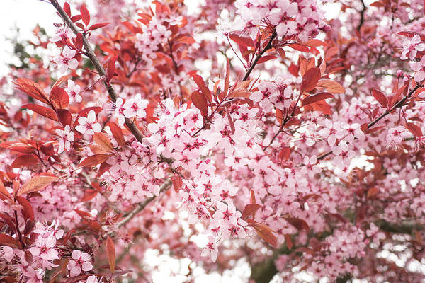 Photograph - Pink Blossoms by Crystal Hoeveler