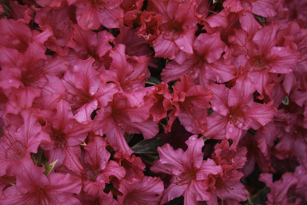 Photograph - Pink Blossoms by Donna L Munro