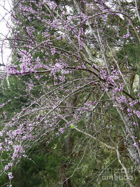 Photograph - Pink Blossoms In The Redbud Trees by D Hackett