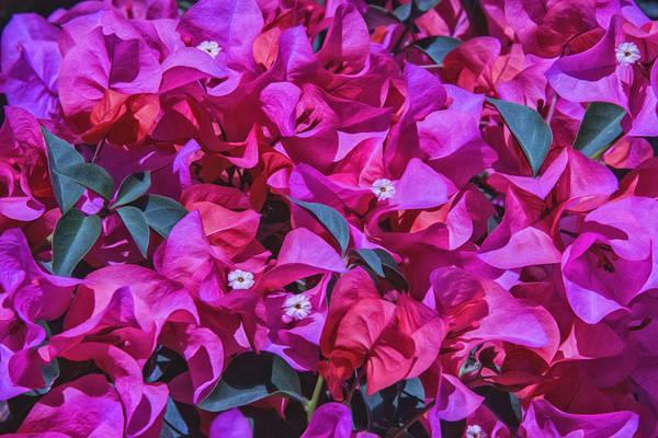 Photograph - Pink Bougainvillea by Pamela Steege