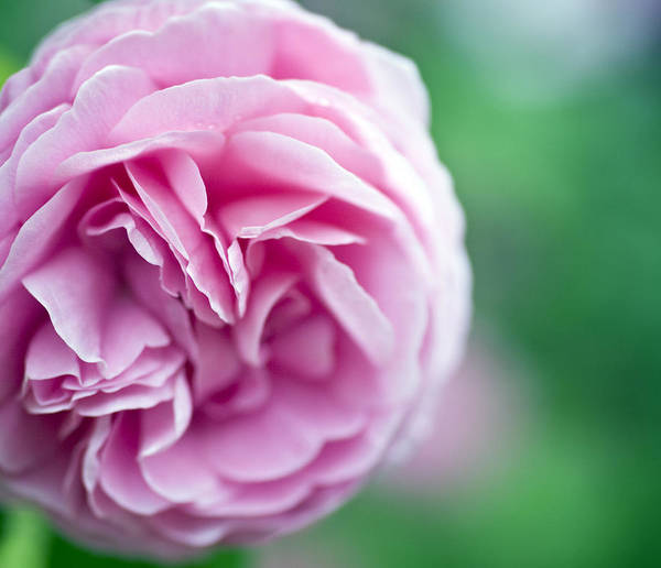 English Garden Photograph - Pink Bourbon Rose Louise Odier by Frank Tschakert
