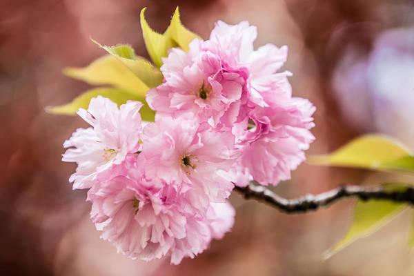 Photograph - Pink Burst by Karen Saunders