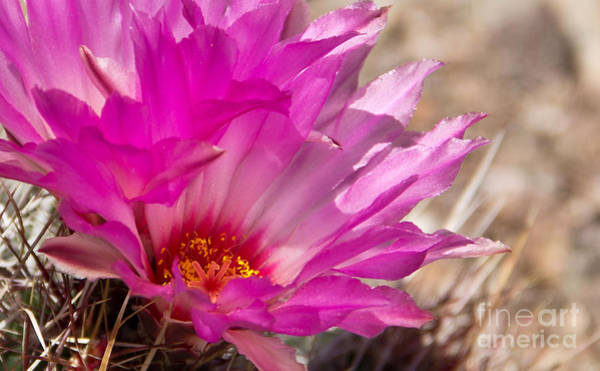 Photograph - Pink Cactus Flower by Kelly Holm