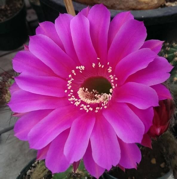 Wall Art - Photograph - Pink Cactus Flower by Nick Blake