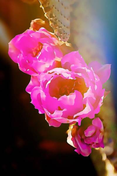 Digital Art - Pink Cactus Flowers - Digital Art by Tatiana Travelways