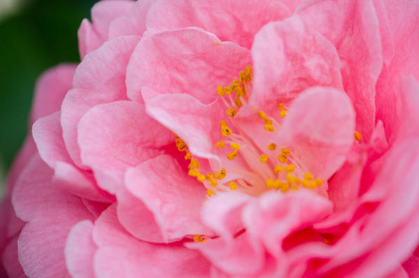 Photograph - Pink Camellia by Kristin Hatt