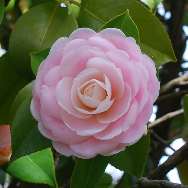 Wall Art - Photograph - Pink Camellia by Linda Sramek
