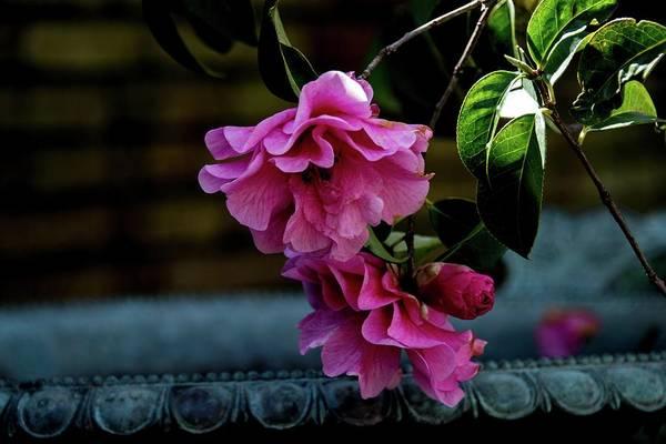 Filoli Photograph - Filoli Pink Camellia by Patricia Dennis