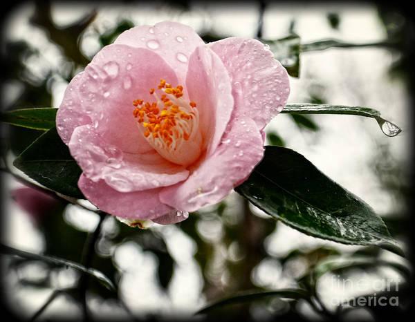 Wall Art - Photograph - Pink Camellia With Raindrops by Eva Thomas