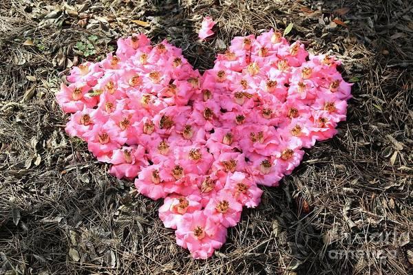 Photograph - Pink Camellias Heart by Carol Groenen