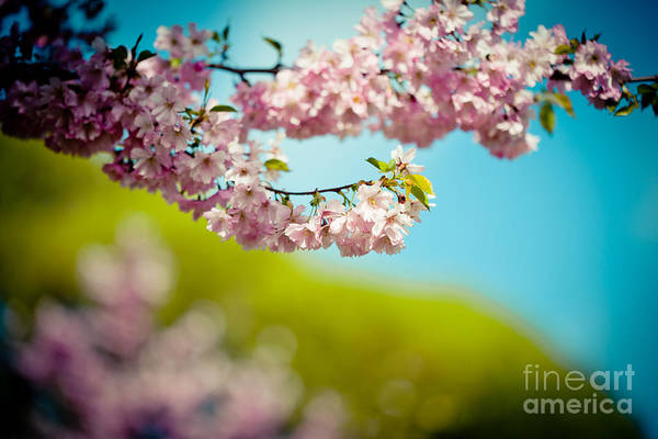 Photograph - Pink Cherry Blossoms Against Clear Blue by Raimond Klavins