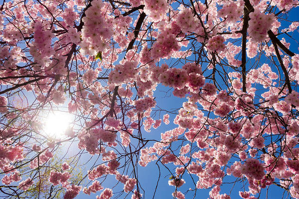 Photograph - Pink Cherry Blossoms And Blue Sky In Spring by Matthias Hauser