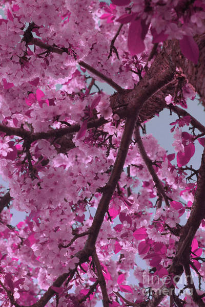 Digital Art - Pink Cherry Blossoms by Donna L Munro