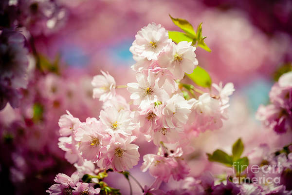 Photograph - Pink Cherry Blossoms Sakura Spring  by Raimond Klavins