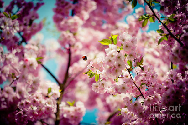 Photograph - Pink Cherry Blossoms Sakura With Bee by Raimond Klavins