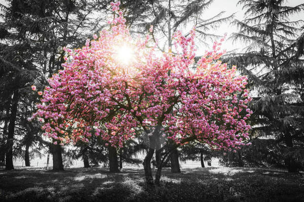 Photograph - Pink Cherry Blossom by Alexandre Rotenberg