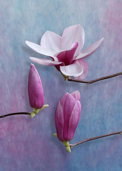 Photograph - Pink Chinese Magnolia Flower With Two Buds by Debi Dalio