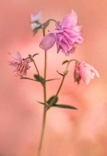 Nature Wall Art - Photograph - Pink Columbine Flowers by Jaroslaw Blaminsky
