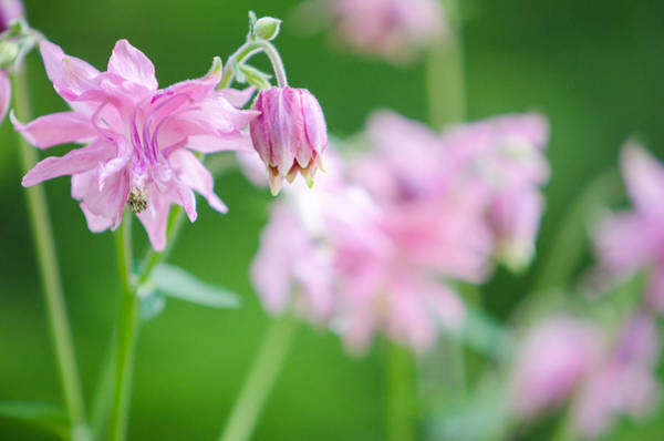 Photograph - Pink Columbine by Kristin Hatt