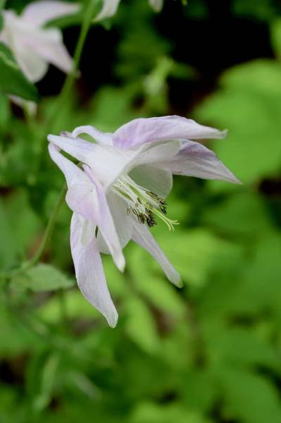 Photograph - Pink Columbine by Sarah Lilja