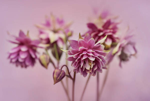 Nature Wall Art - Photograph - Pink Columbines by Jaroslaw Blaminsky