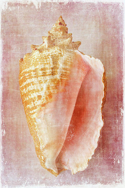 Conch Photograph - Pink Conch by Cindi Ressler