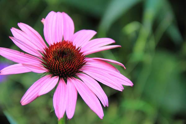 Photograph - Pink Coneflower by Angela Murdock