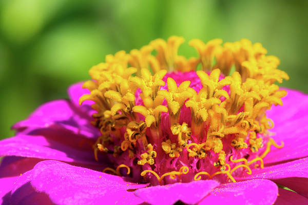 Photograph - Pink Cosmo Closeup by SR Green