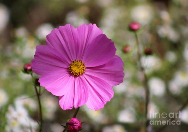 Photograph - Pink Cosmos Bloom In Garden by Karen Adams