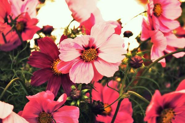 Pdx Photograph - Pink Cosmos by Cathie Tyler