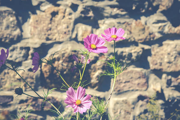 Photograph - Pink Cosmos by Eleanor Abramson