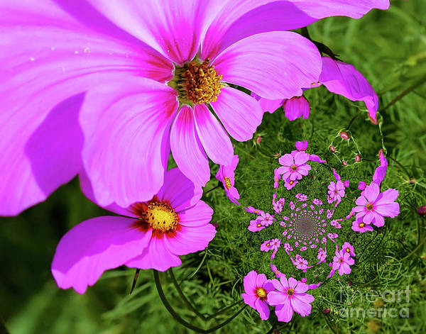 Photograph - Pink Cosmos Flowers Abstract by Smilin Eyes  Treasures
