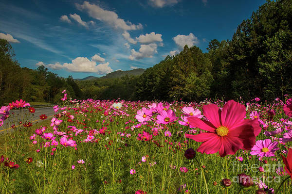 Photograph - Pink Cosmos Patch by Barbara Bowen