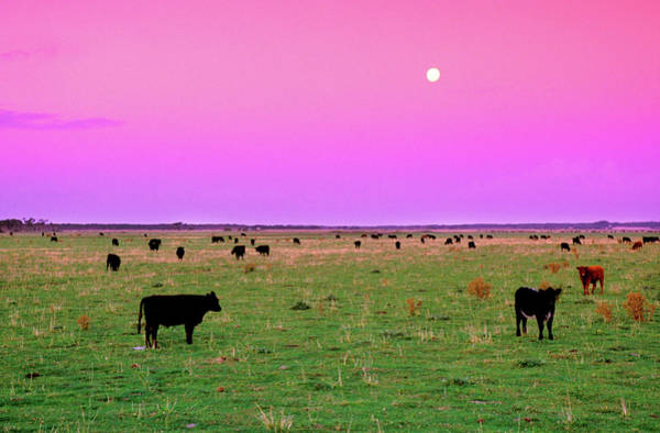 Wall Art - Photograph - Pink Cows by Sean Davey