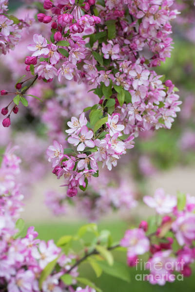Apple Blossom Photograph - Pink Apple Blossom by Tim Gainey